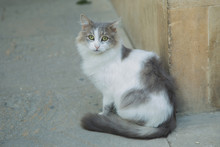Black And White Cats . Maine Coon Cat . White Black Hairy Cat . White Black Hairy Cat . A White Cat Is Sitting At Street. White And Black Cat Sitting On The Cement Ground Floor . Black White Cat Sit