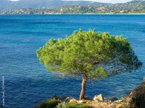 Pinus pinea - Le Pin parasol, une variété de conifère dans le bassin méditerranéen Canvas Print