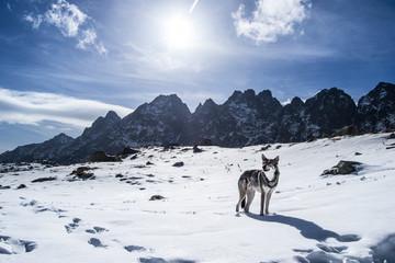 Wilk z Tatr / Wolf from Tatra