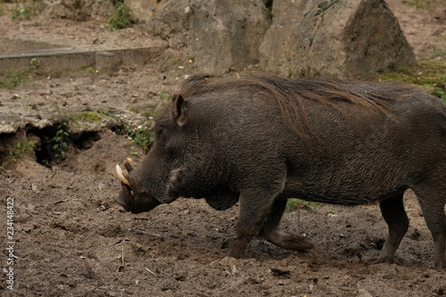 Common warthog on a close up horizontal picture  A common