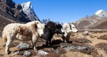 Three Yaks, Nepal Himalayas Mountains