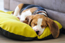 Beagle Puppy Sweet Sleeping In...