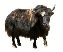 Black Yak Isolated On The Whit...