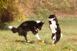 canvas print picture - Border Collies spielen im Herbst