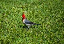 Red-crested Cardinal On A Gras...