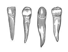 Engraving Vintage Tooth