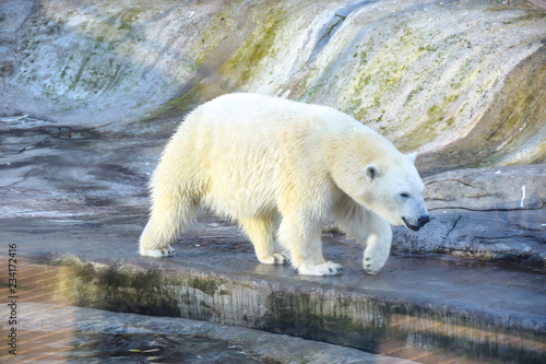 Staande foto Ijsbeer polar polar bear in the aviary on the background of stones and rocks