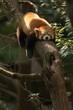 Sleeping red panda on tree branch