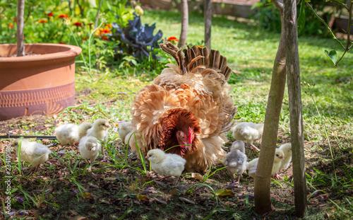 Stampa su Tela free range hen and chicks