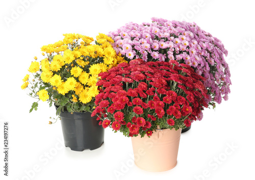 Photo Pots with beautiful colorful chrysanthemum flowers on white background