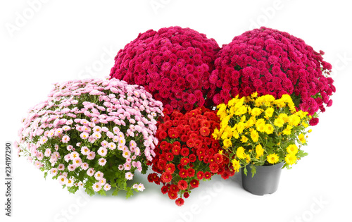 Foto Beautiful chrysanthemum flowers in pots on white background