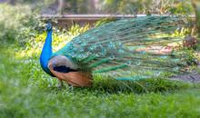 Peacock In The Wildlife Sanctu...