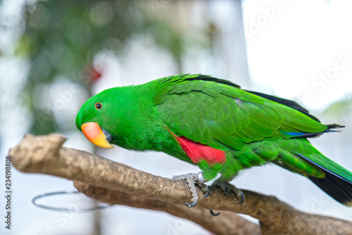 Wall Murals Ostrich Portrait of Green eclectus parrot or Alexandrine Parakeet in the reserve. This is a bird that is domesticated and raised in the home as a friend