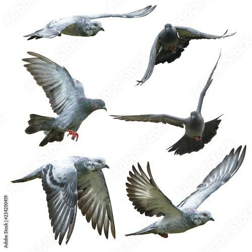 Pigeons flying isolated on white background