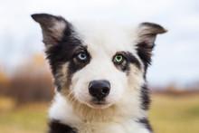Portrait Yakut Husky Puppy Natural Background Heterochromia Eyes