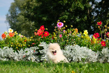 Dog Pomeranian Spitz Sitting On Blossom Flowers. Portrait Of Smart White Puppy Pomeranian Dog. Cute Furry Domestic Animal Sitting Between Flowers