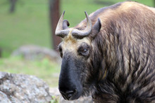 The Takin, Also Called Cattle ...