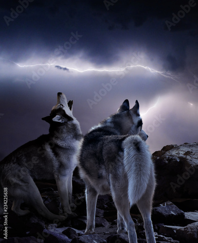 two wolves watching the storm