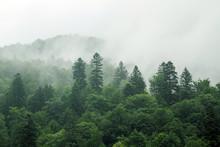 Spruce Trees If Fog