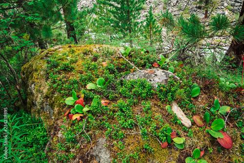 Fotografia, Obraz  Green and red leaves of bergenia crassifolia close up