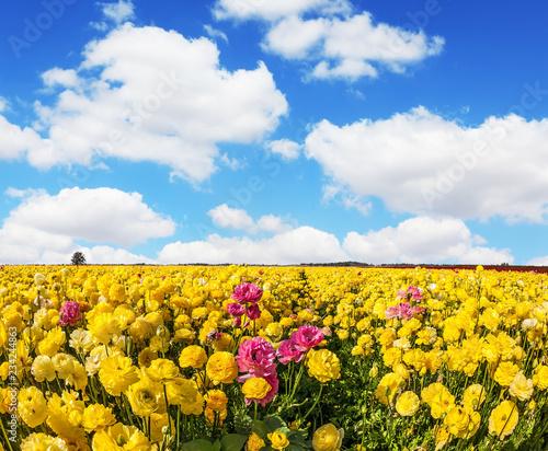 Adorable yellow garden buttercups