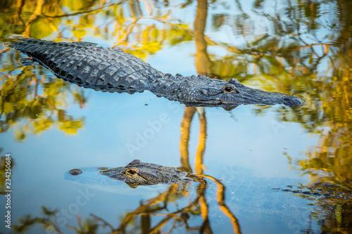 A large American Alligator in Orlando, Florida
