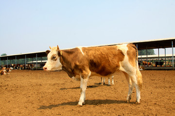 Beef cattle in a farms