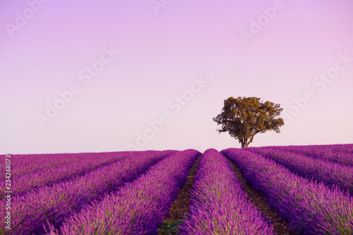 Printed kitchen splashbacks Purple Lonely oak tree on blooming lavender field in Valensole Provence France at sunrise