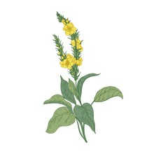 Tender Verbascum Or Mullein Flowers Isolated On White Background. Detailed Drawing Of Wild Perennial Herbaceous Plant Used In Herbalism Or Herbal Medicine. Hand Drawn Botanical Vector Illustration.