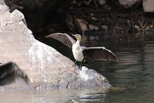 White-breasted Cormorant In So...