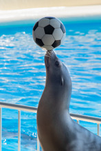 The Sea Lion Putting A Soccer ...