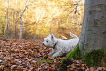 West Highland White Terrier In The Forest