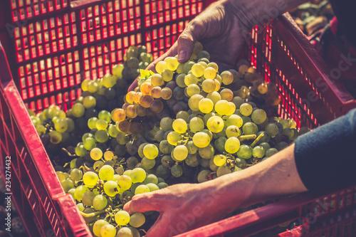 Fotografía  Depositing grapes in the fall seasonal collection