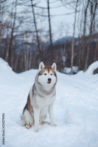Fotografering  Portrait of free and gorgeous Husky dog sitting in the winter forest