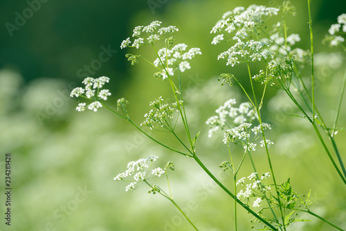 Anise flower field. Food and drinks ingredient.