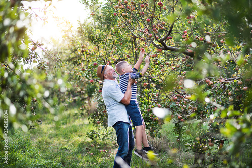 A senior man with grandson picking apples in orchard in autumn. Fototapete