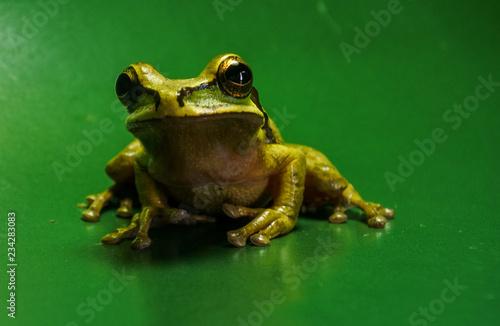 Tuinposter Kikker Masked tree frog