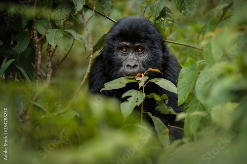 Tela Wild mountain gorilla in the nature habitat