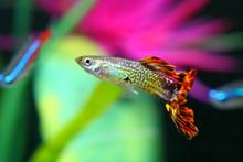 Guppy Fish With Colorful Background Poecilia Reticulata