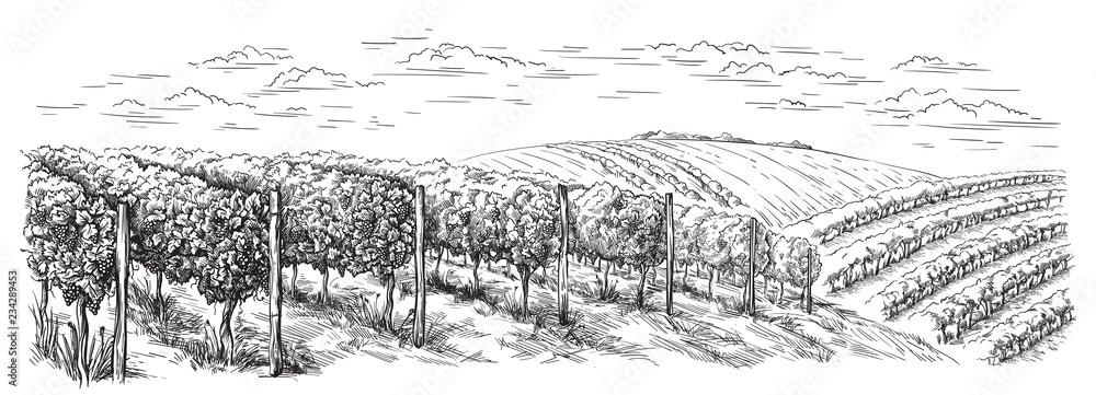 Fototapeta vine plantation hills, trees, clouds on the horizon vector illustration