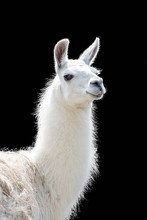 Portrait Of A White Llama Lama...