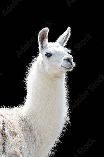 Foto op Canvas Lama Portrait of a white llama Lama glama isolated on black background