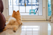 Lonely Pomeranian Dog Is Waiting For Someone To Open The Door. Cute Puppy Dog Sitting At The Front Door Looking Outside Waiting Someone Coming Back Home.