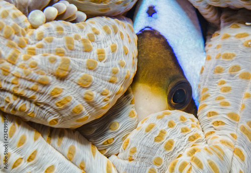 Photo Hiding clownfish in large anemone