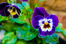 Wet Violet Garden Pansy Flower Covered In Raindrops Giving A Beautiful Effect Macro Close Up Nature Background