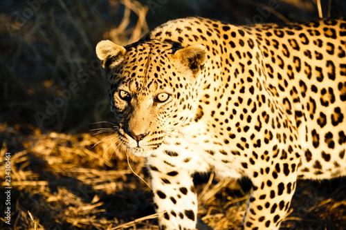 Canvas Prints Leopard Leopard (Panthera pardus)