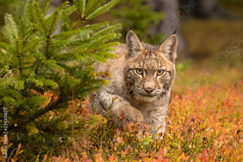 Amazing cute young lynx cub in autumn wet forest Wallpaper Mural