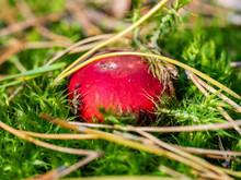 Close Up Of Russula Emetica (v...