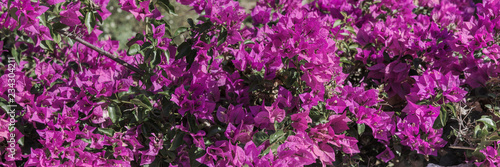 Blooming bougainvillea.Bougainvillea flowers as a background.Floral background