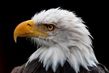 Portrait Of A Bald Eagle, Canada